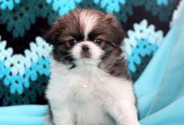 Japanese Chin Category