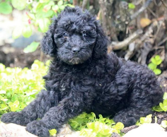 Jenny | Poodle - Standard Puppy For Sale | Keystone Puppies