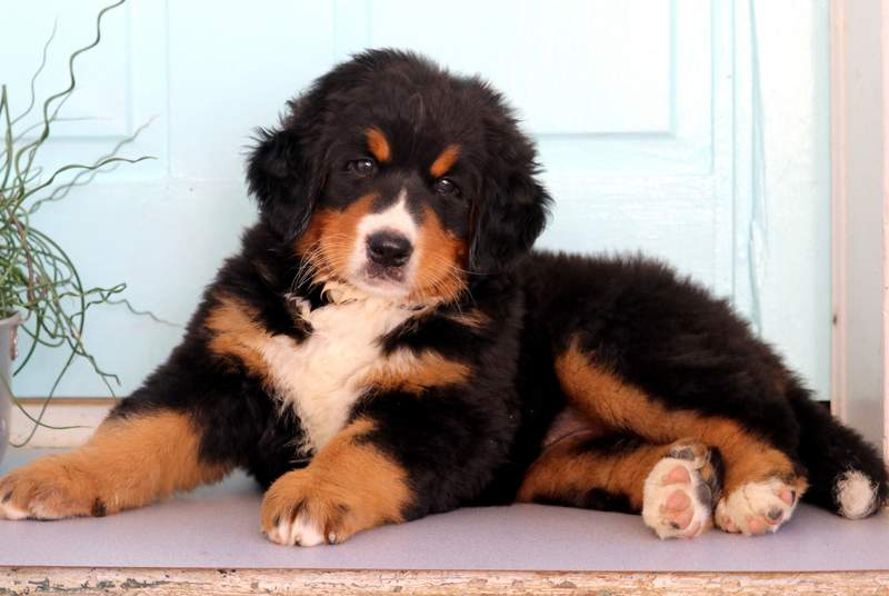 Katrina Bernese Mountain Dog Puppy For Sale Keystone Puppies