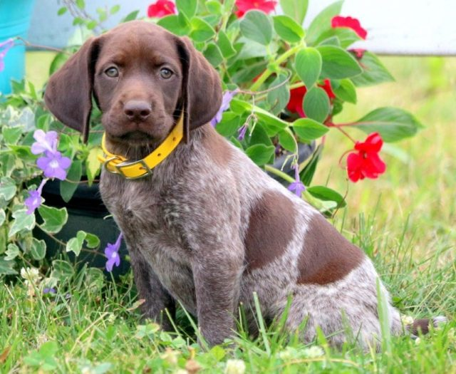 Lilly German Shorthaired Pointer Puppy For Sale Keystone Puppies