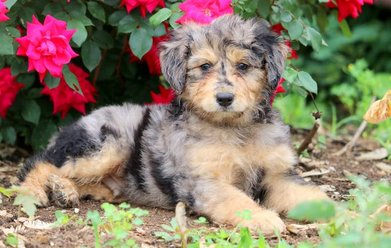 Macho Aussiedoodle Mini Puppy For Sale Keystone Puppies