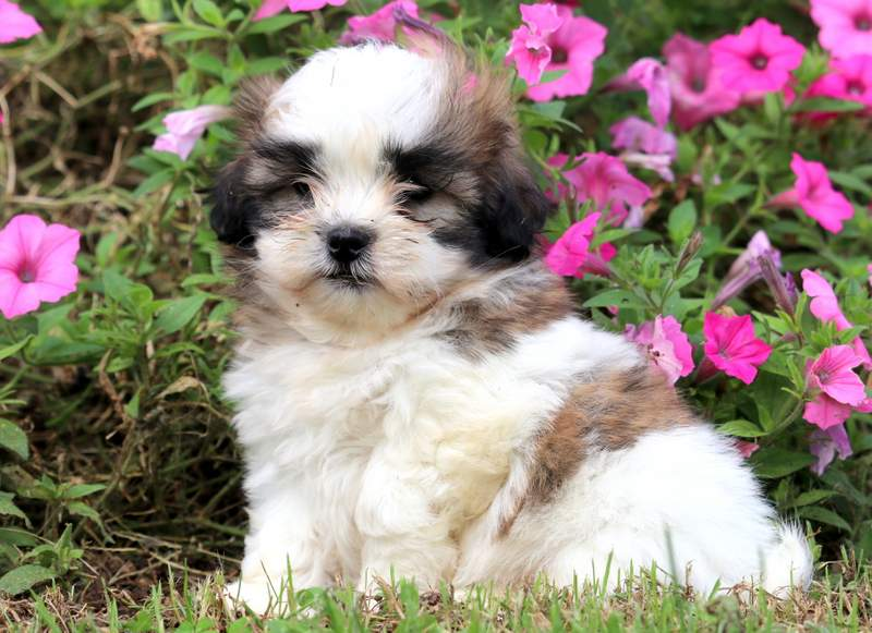 Mal Shi Puppies For Sale Puppy Adoption Keystone Puppies