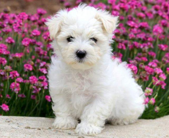 Maltipoo Puppies For Sale Puppy Adoption Keystone Puppies