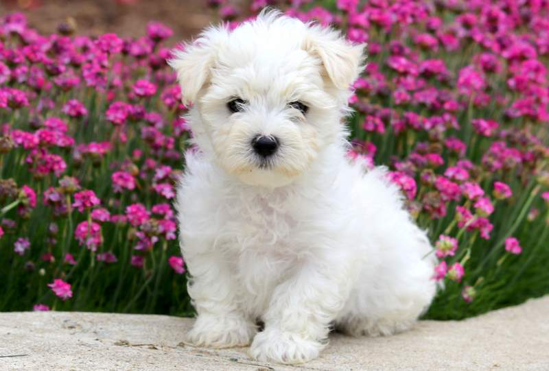 Maltese Puppies For Puppy