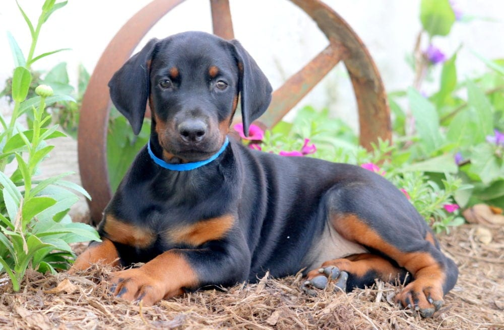 Buy Doberman Puppies For Sale In New South Wales Australia
