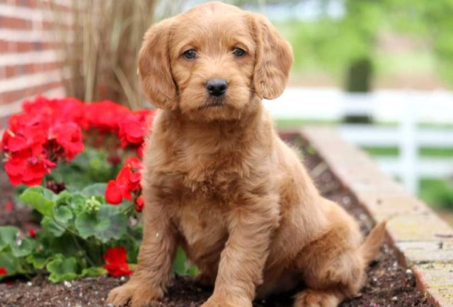 Mini Labradoodle Category
