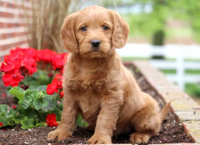 Miniature Labradoodle Puppies For Sale | Puppy Adoption | Keystone Puppies