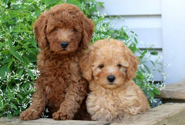 Mini Poodle puppies for sale