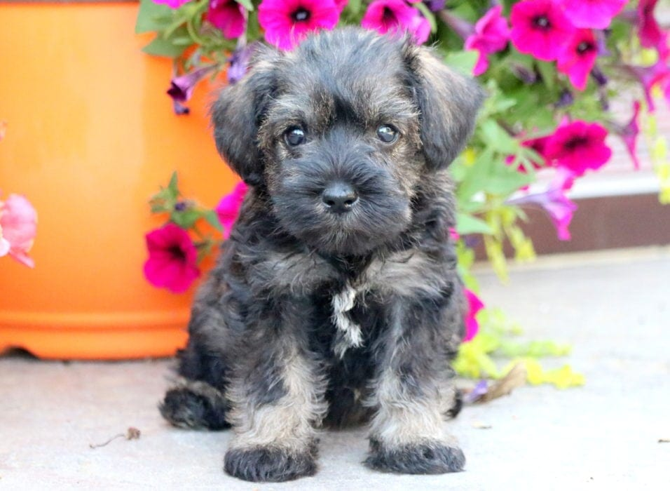 Schnauzer Mini Puppies For Sale Puppy Adoption