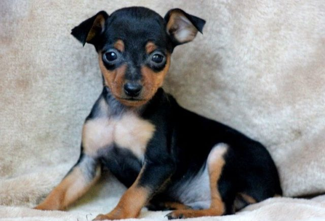 Miniature Pinscher Category