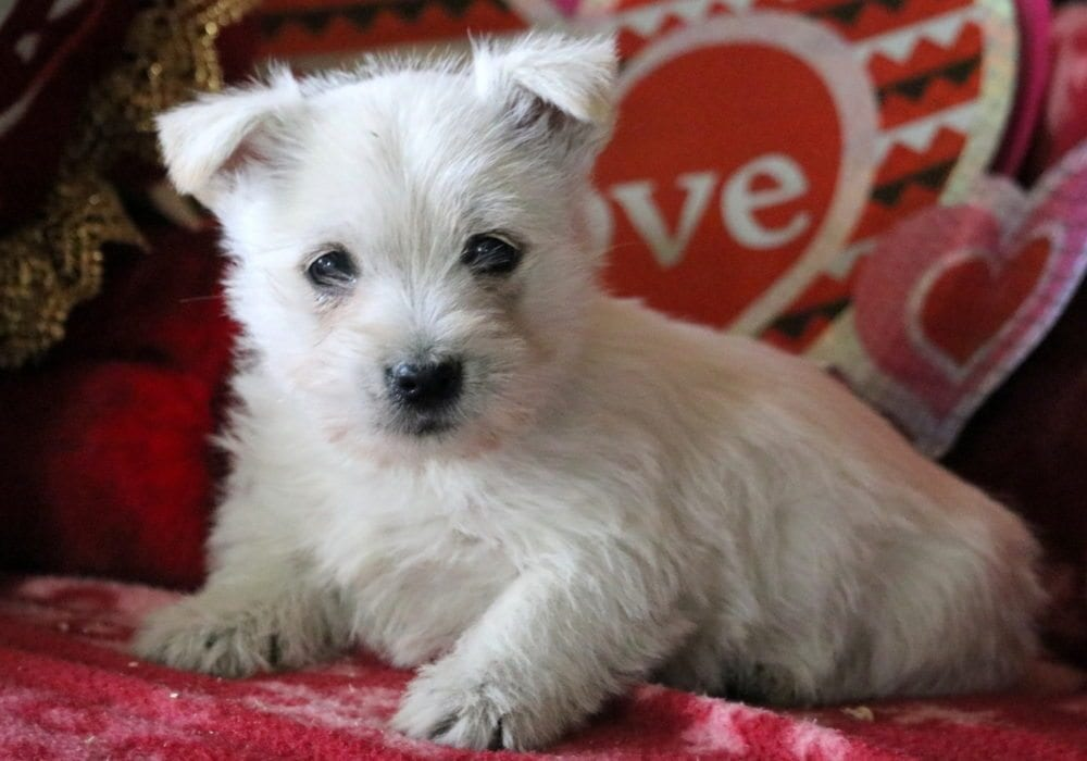Morgan | Cairn Terrier Puppy For Sale | Keystone Puppies