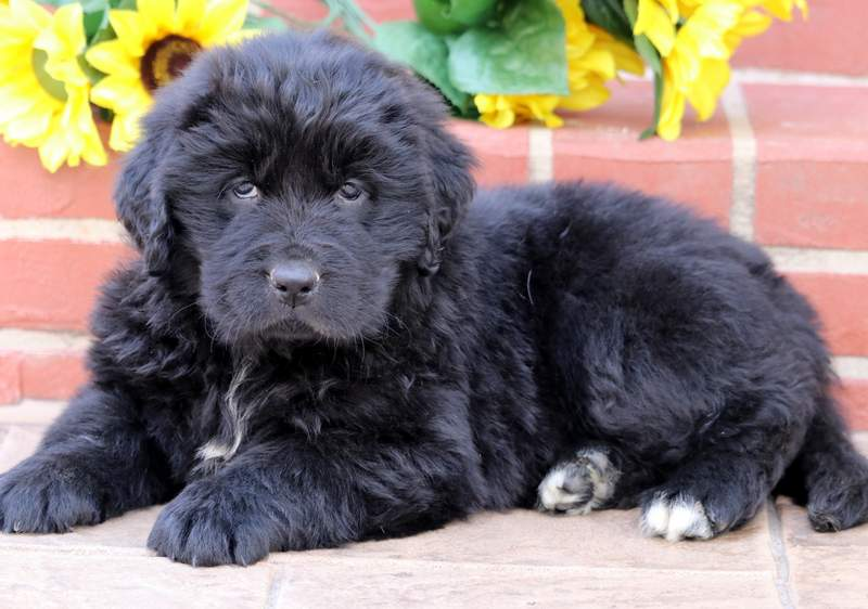 Newfoundland Puppies For Sale Puppy Adoption Keystone Puppies
