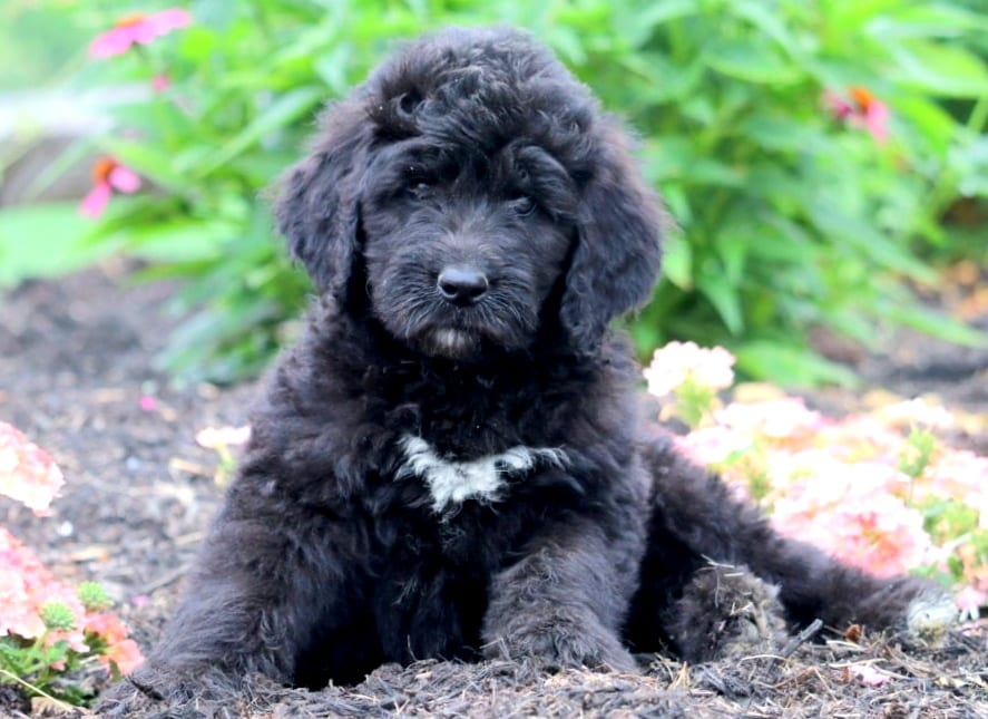 Newfypoo Puppies For Sale | Puppy Adoption | Keystone Puppies