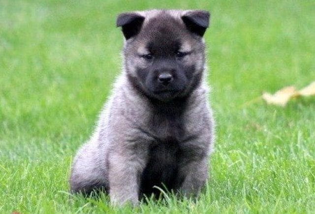 Norwegian Elkhound Category