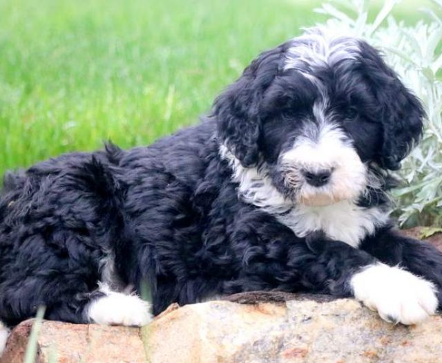 Panther Bernedoodle Puppy For Sale Keystone Puppies