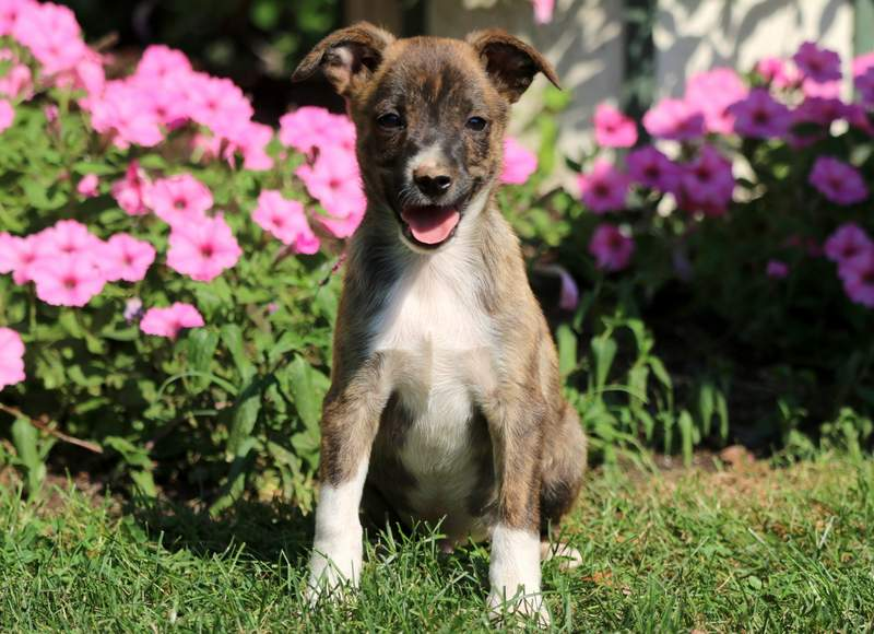 Panther Jack Russell Mix Puppy For Sale Keystone Puppies