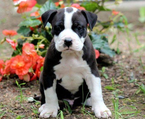 Pit Bull Terrier - American