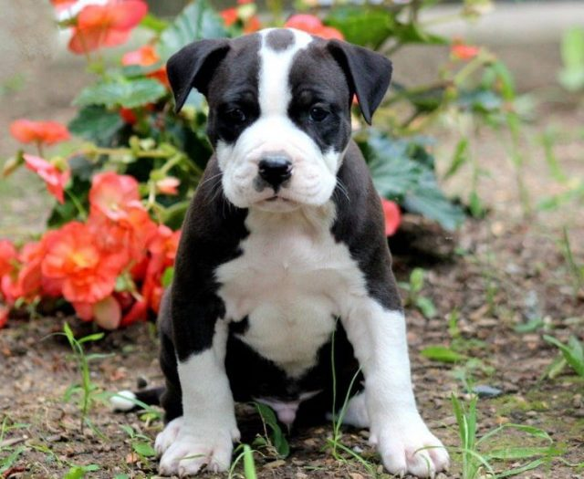 American Bully Puppies For Sale | Puppy Adoption | Keystone
