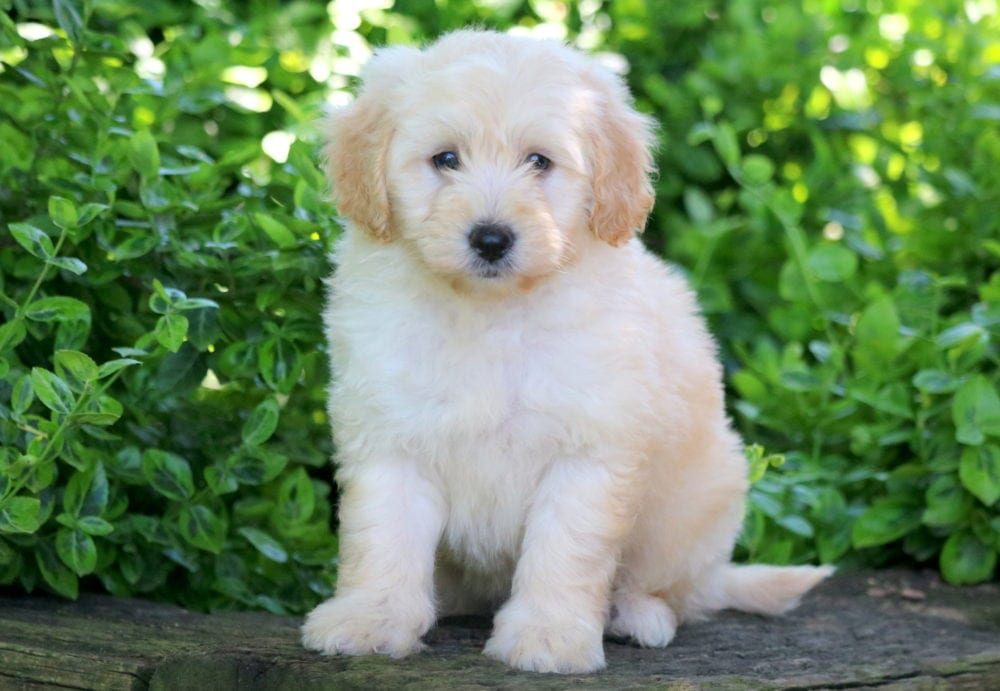Pluto Aussiedoodle Mini Puppy For Sale Keystone Puppies
