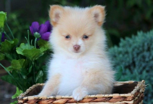 Pomchi Category