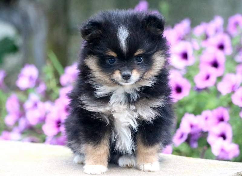Pomeranian Puppies For Sale Puppy Adoption Keystone Puppies