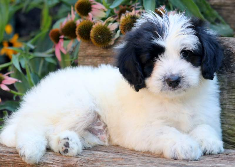 Poodle Mix Puppies For Puppy