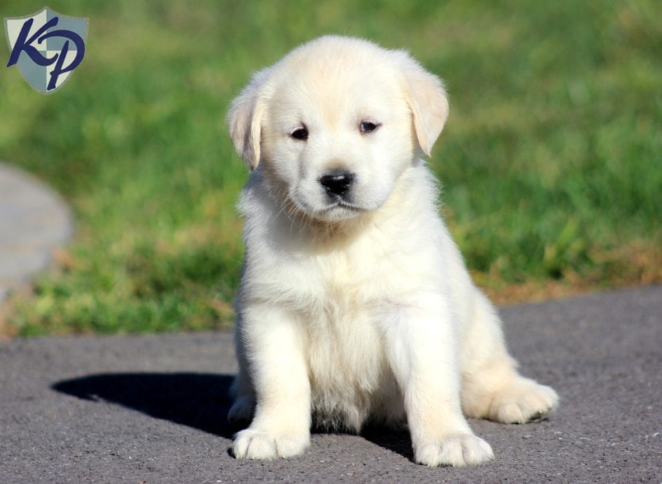 Precious Golden Labrador Puppy For Sale Keystone Puppies