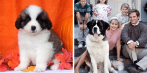 saint-bernard-beethoven-healthy-responsibly-bred-Pennsylvania