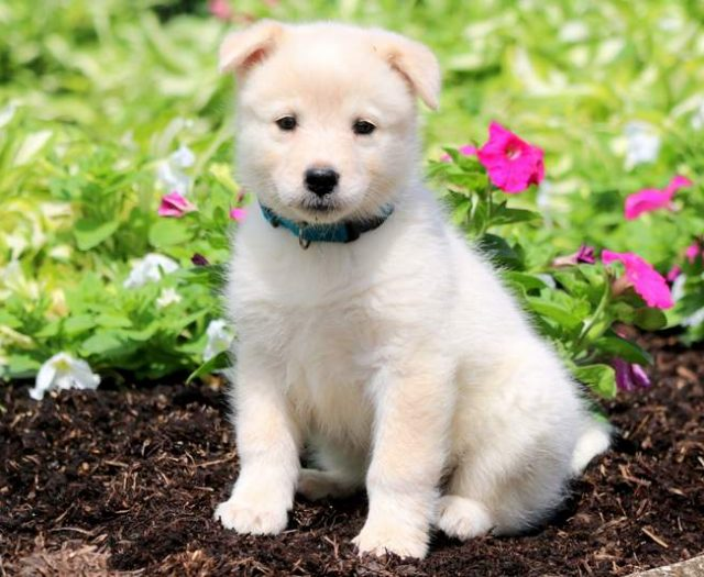 Samoyed Mix