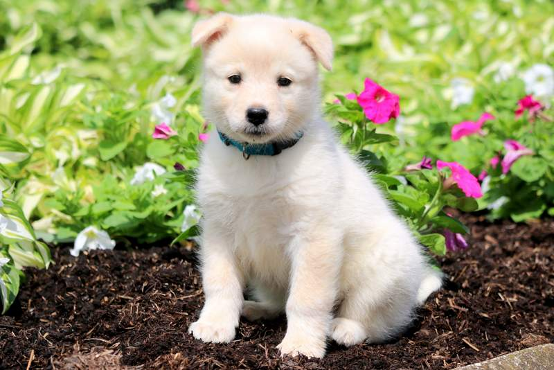 Samoyed Mix Puppies For Puppy