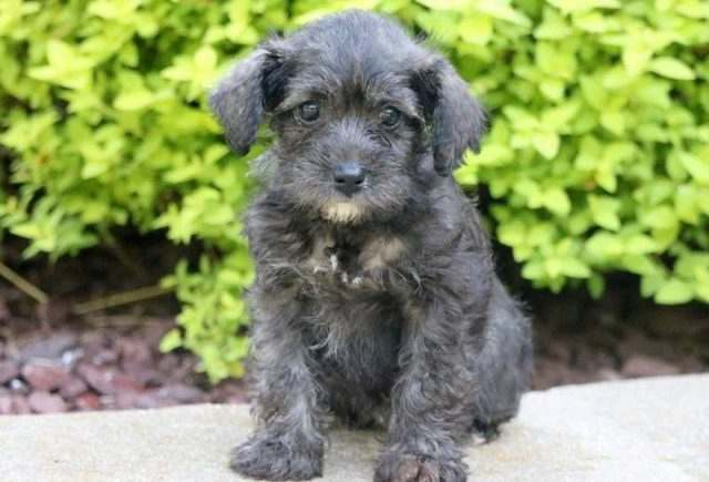 Schnoodle Category