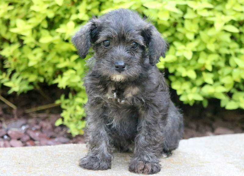 Schnoodle Puppies For Puppy