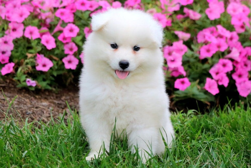 Sheila | Samoyed Puppy For Sale | Keystone Puppies