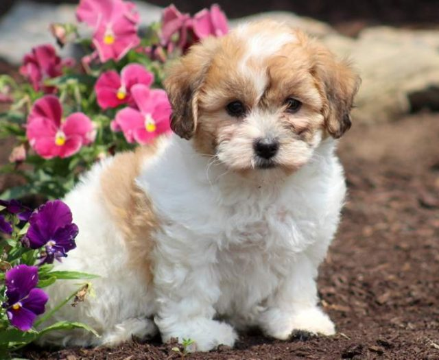 Shichon (Teddy Bear)
