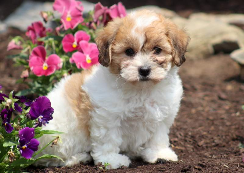 Shichon (Teddy Bear) Puppies For Sale | Puppy Adoption