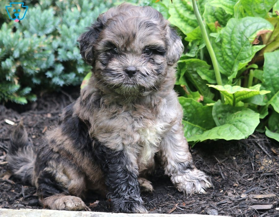 Shihpoo Puppies For Sale Puppy Adoption Keystone Puppies