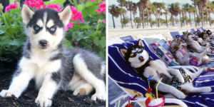 siberian-huskies-healthy-responsibly-bred-Pennsylvania