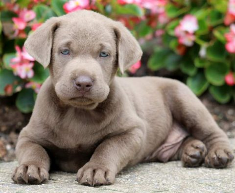 Labrador Retriever - Silver