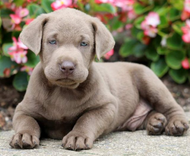 Weimaraner Puppies For Sale | Puppy Adoption | Keystone Puppies