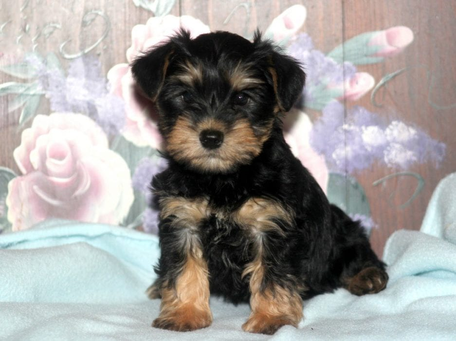 schnauzer yorkie mix puppies for sale