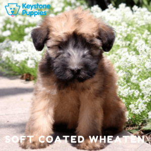 soft-coated-wheaten-terrier-healthy-responsibly-bred-Pennsylvania