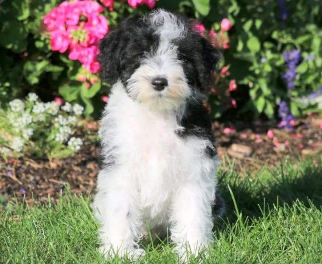 Sonny Schnoodle Puppy For Sale Keystone Puppies