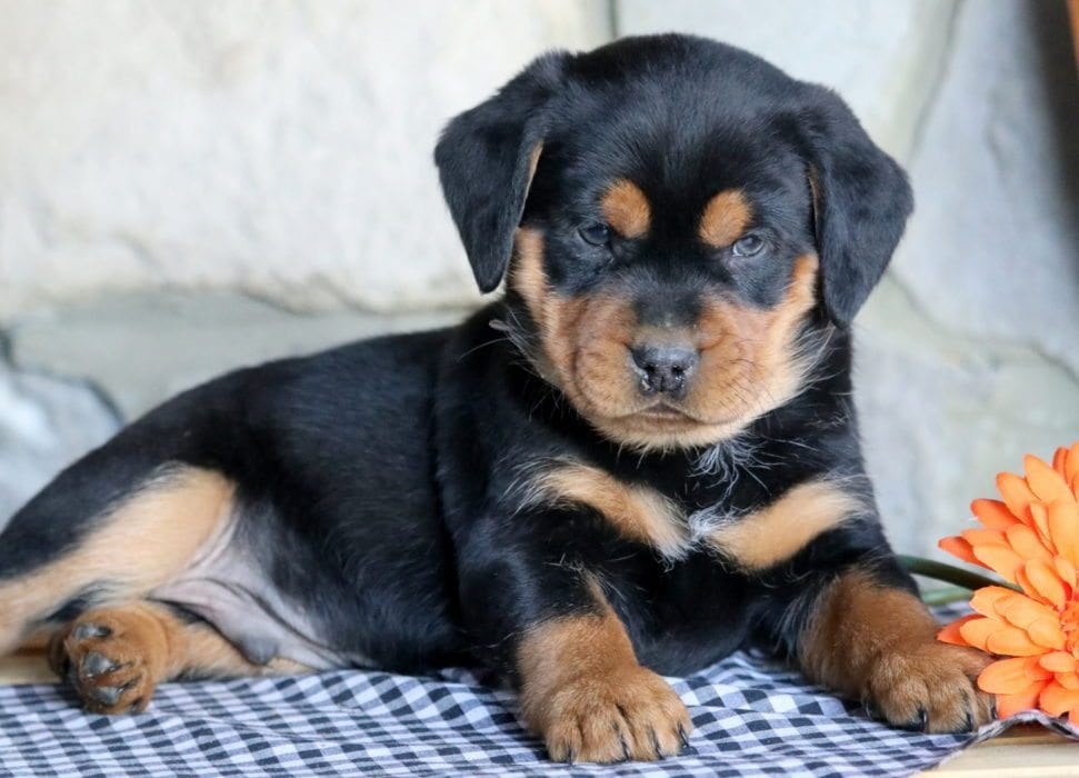 Spike Rottweiler Miniature Puppy For Sale Keystone Puppies