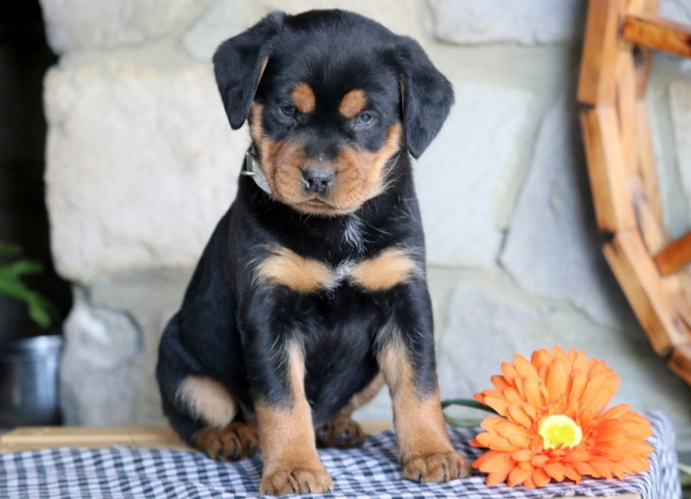 Mini Corgi Puppies For Sale >> Spike | Rottweiler - Miniature Puppy For Sale | Keystone Puppies