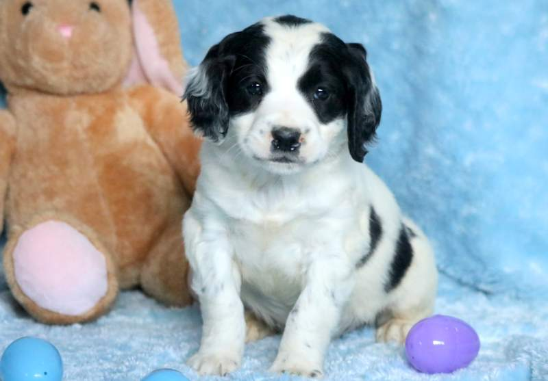 Springerdoodle Puppies For Sale | Puppy Adoption | Keystone Puppies