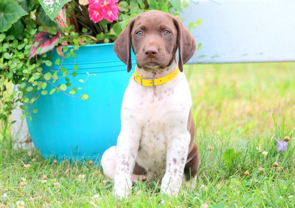 Sterling German Shorthaired Pointer Puppy For Sale Keystone Puppies