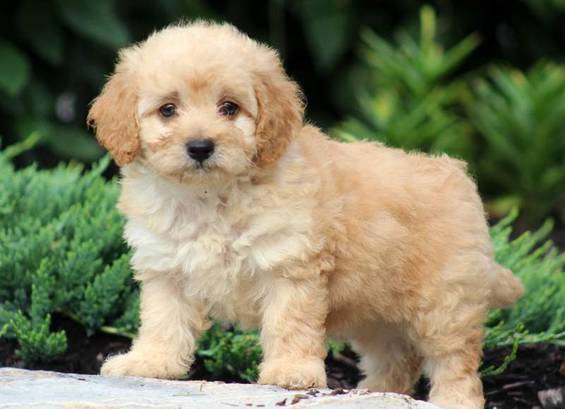 Prince Teddy Bear Puppies For Sale In California