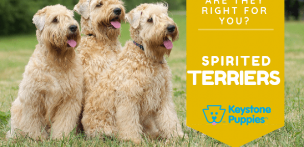 Are Spirited Terriers Right for You?