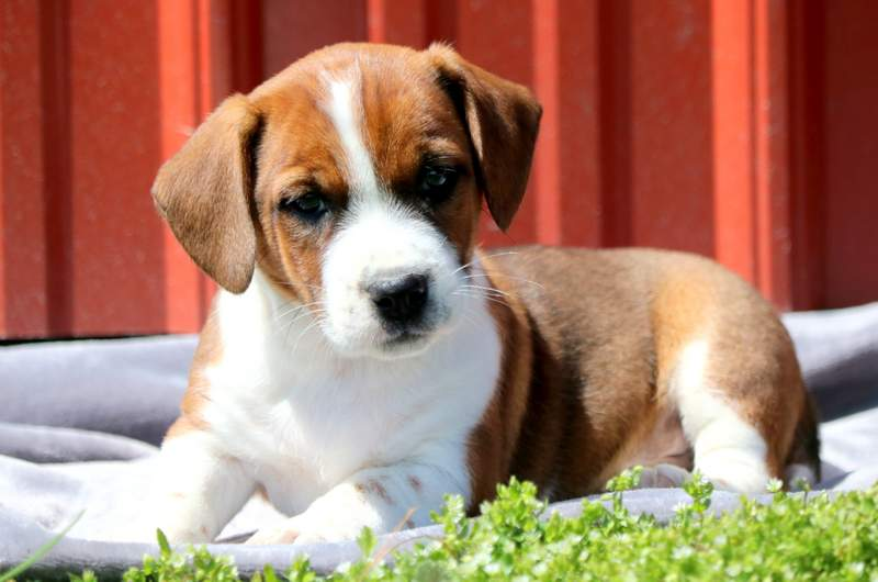 Timmy Jack A Bee Puppy For Sale Keystone Puppies