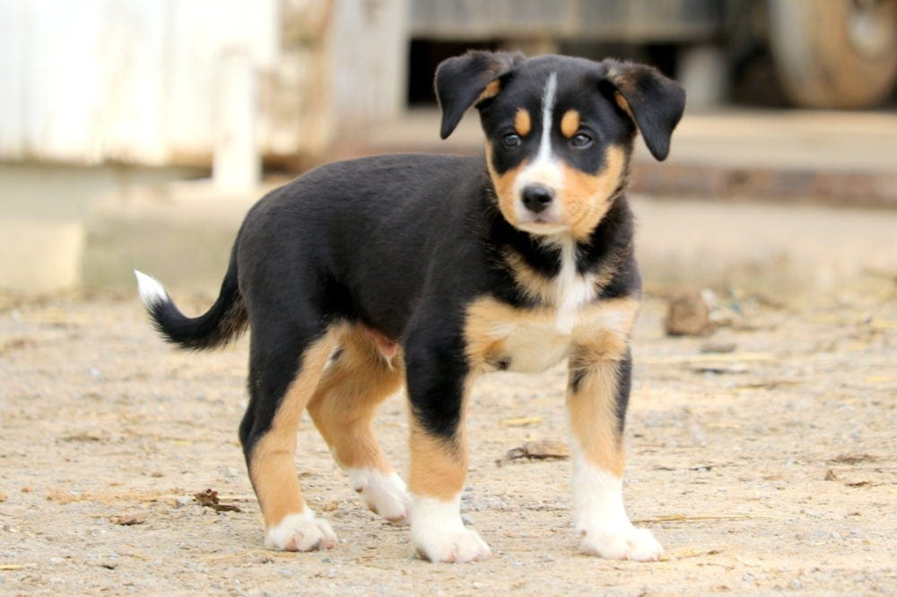 Titus Bernese Mountain Dog Mix Puppy For Sale Keystone